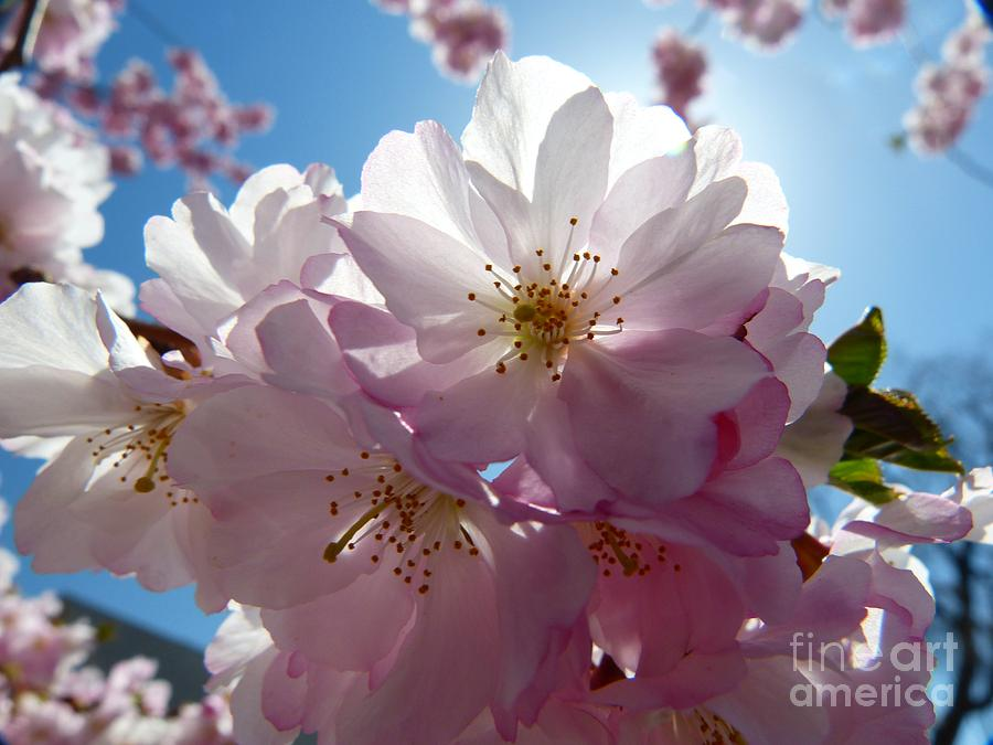 Cherry Blossoms Photograph - Cherry Blossoms Iv by Christine Stack