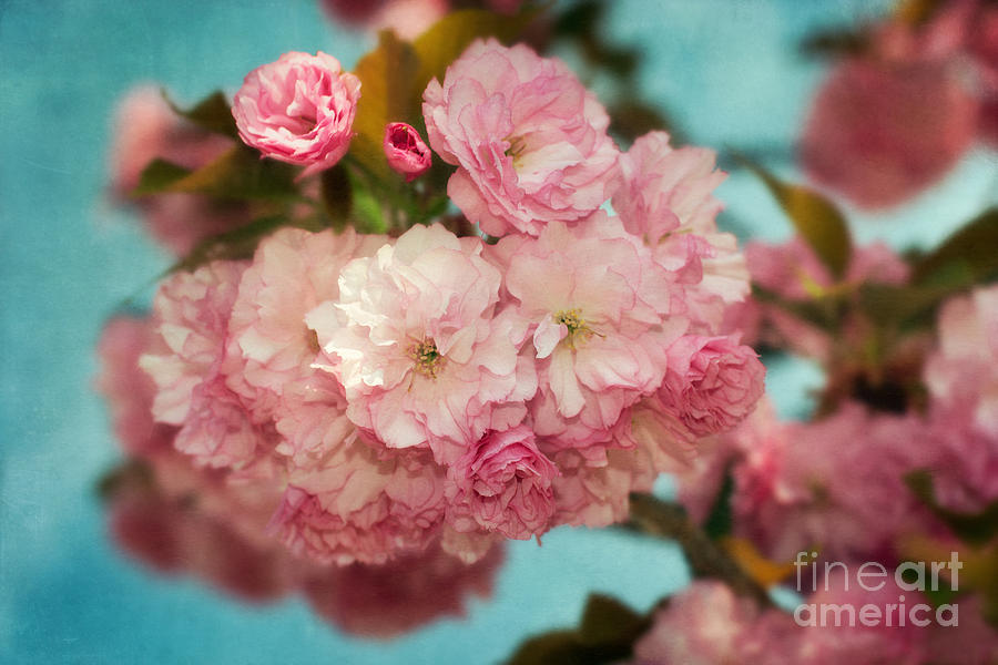 Cherry Blossom Photograph - Cherry Blossoms Kanzan Three by Susan Isakson