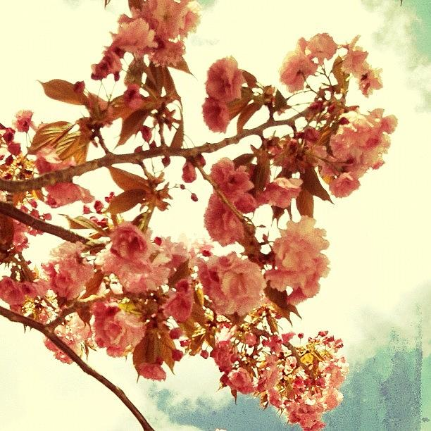 Spring Photograph - Cherry Blossoms by Natasha Marco