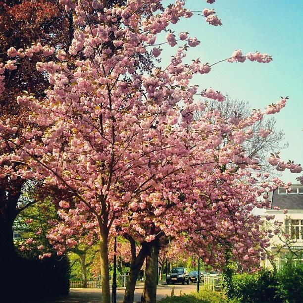Netherlands Photograph - Cherry Blossoms On Essenlaan by Sigit Pamungkas