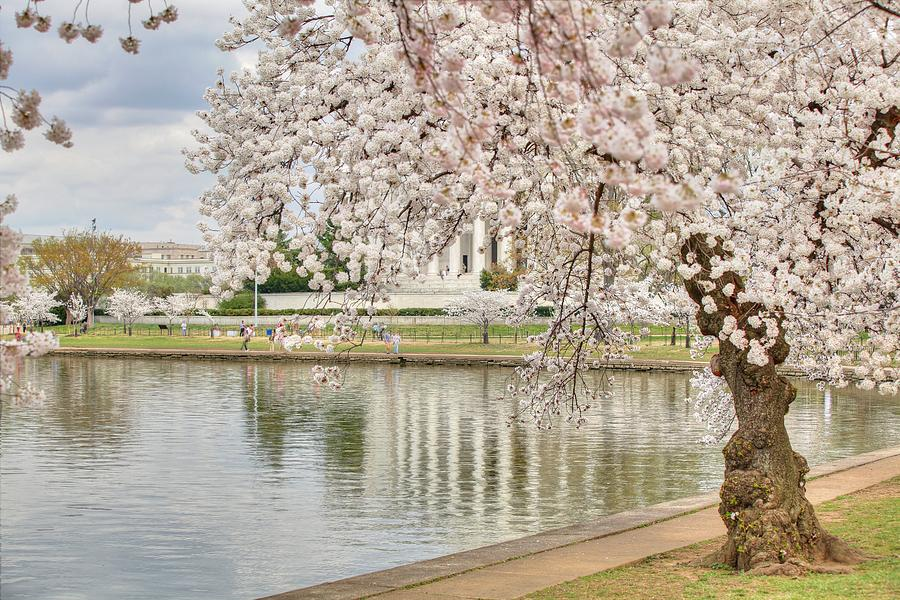 Metro Photograph - Cherry Blossoms Washington Dc 6 by Metro DC Photography