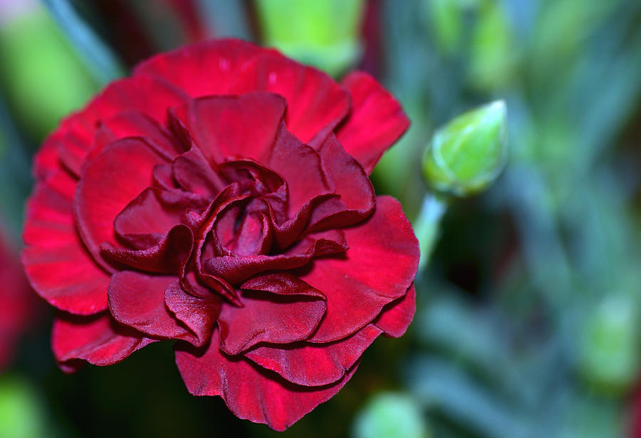 Carnation Photograph - Cherry Red Carnation by Sandi OReilly