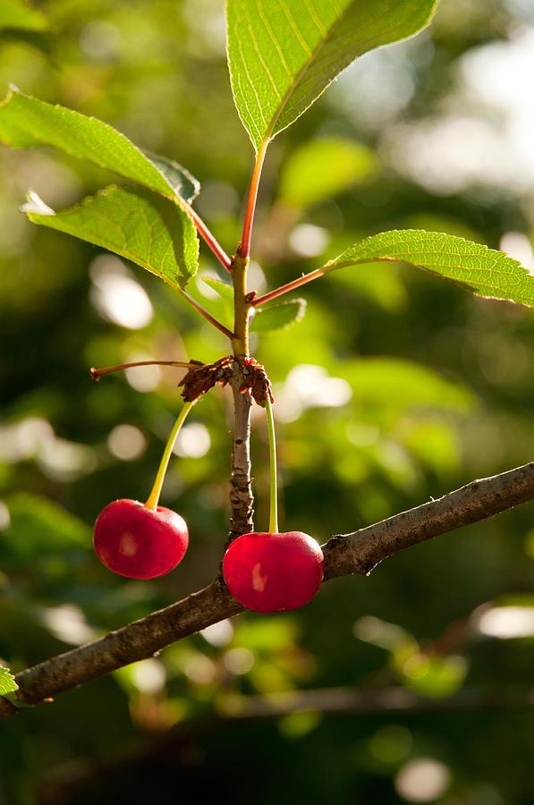 Cherry Pyrography - Cherry by Sasha Gurkova