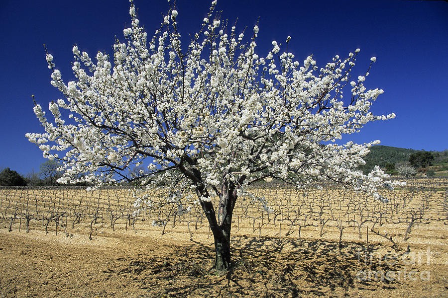 Touristic Photograph - Cherry Tree by Bernard Jaubert
