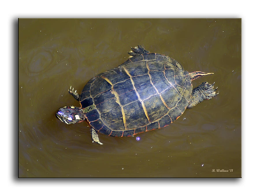 2d Photograph - Chester River Turtle by Brian Wallace