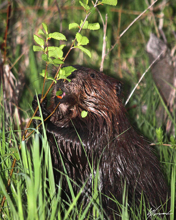 Beaver Photograph - Chewy by Sarah  Lalonde