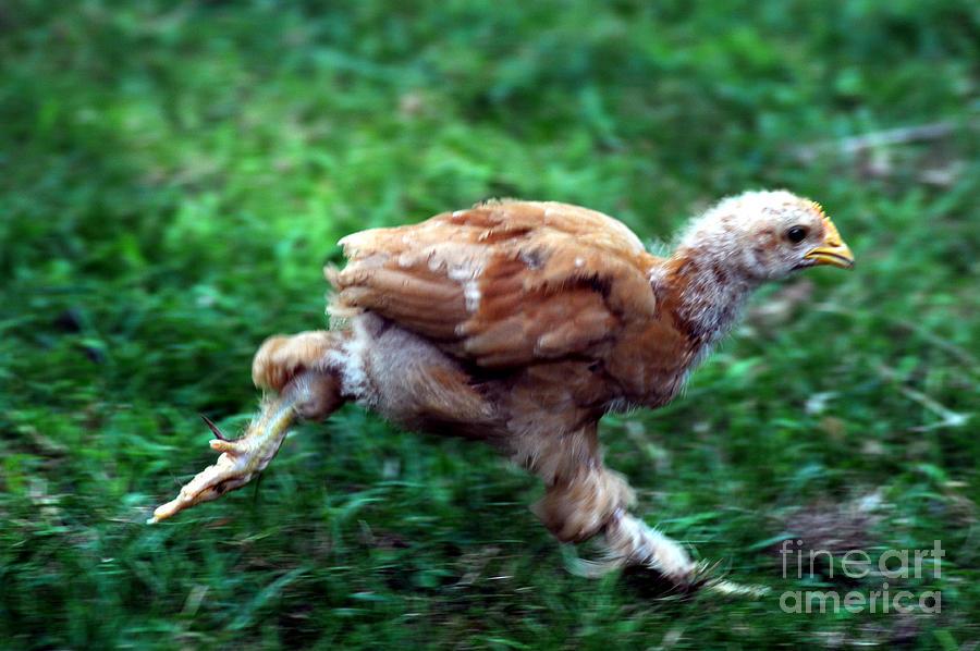 Bird Photograph - Chicken Little by Cindy Roesinger