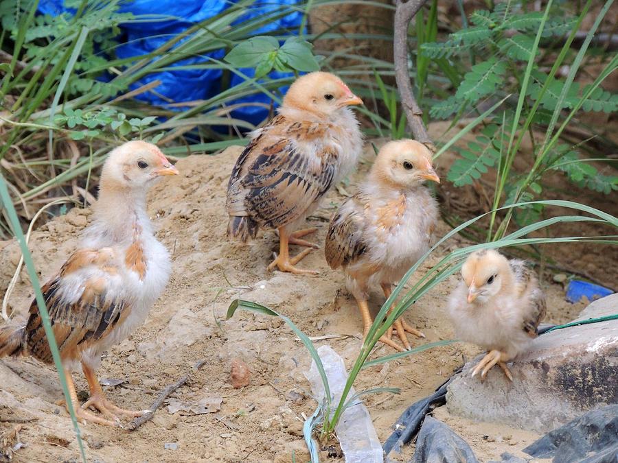 Chicks.... Pyrography by Ramesh Chand