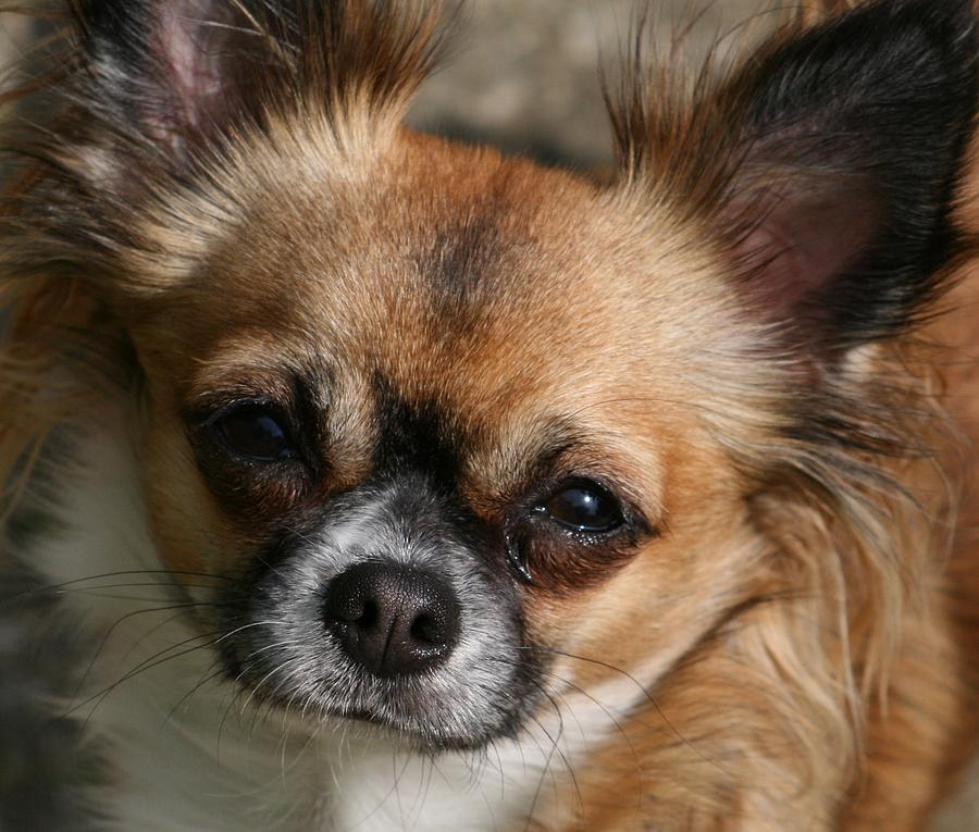 Dogs Photograph - Chihuahua Eyes by Valia Bradshaw