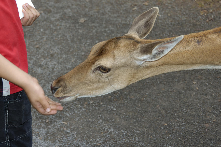 Deer Photograph - Child Feeding Deer by Matthias Hauser