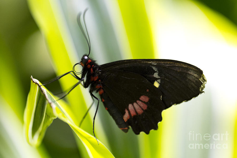 Butterfly Photograph - Chili  by Leslie Leda
