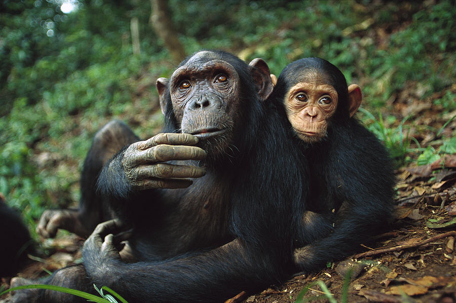 Chimpanzee Adult Female With Orphan Baby Photograph By