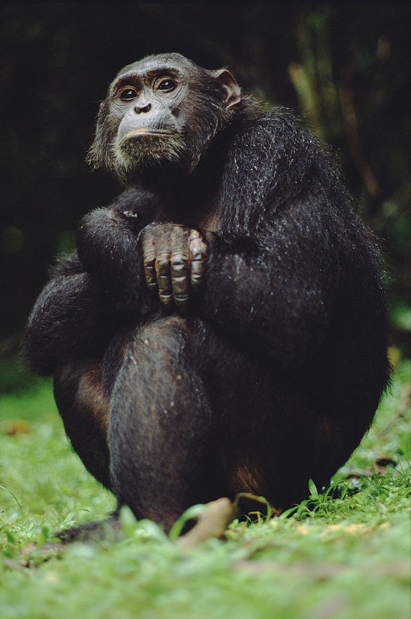 Chimpanzee Pan Troglodytes Portrait Photograph by Gerry Ellis