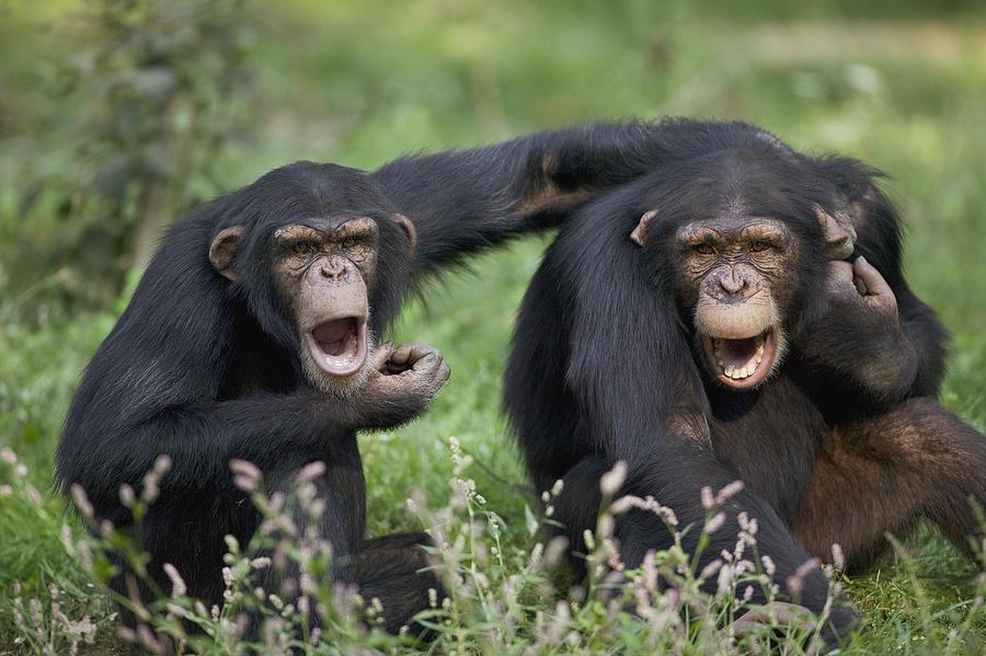 Chimpanzees Pan Troglodytes Calling Photograph By Cyril Ruoso