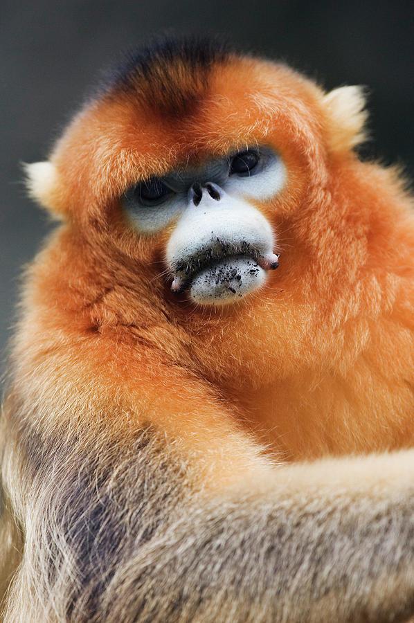 Vertical Photograph - China, Shaanxi Province, Golden Monkey (rhinopithecus Roxellana ) by Jeremy Woodhouse
