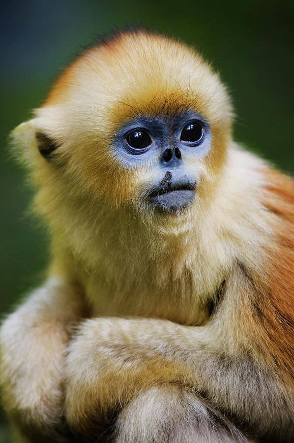 Vertical Photograph - China, Shaanxi Province, Young Golden Monkey (rhinopithecus Roxellana) by Jeremy Woodhouse