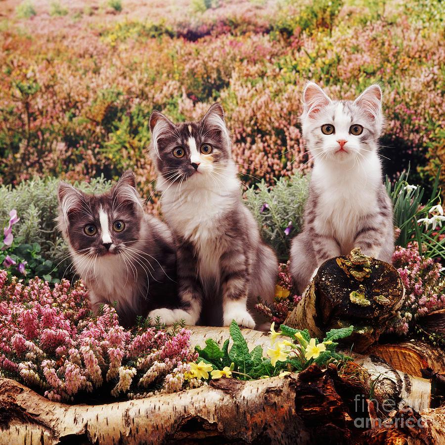 Animal Photograph - Chinchilla-cross Kittens by Jane Burton