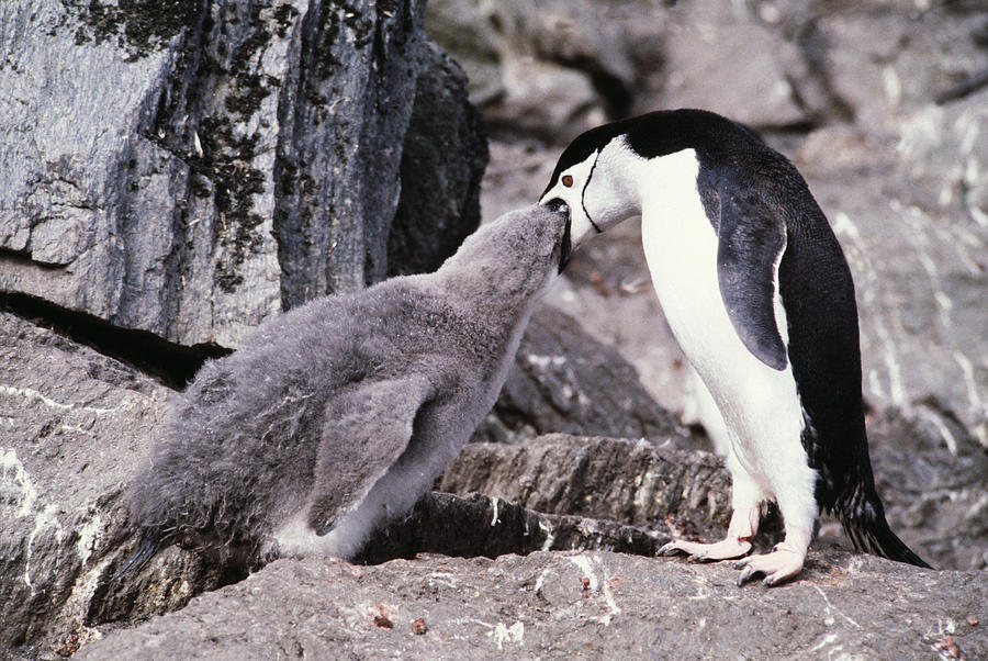 Chinstrap Penguin Photograph - Chinstrap Penguin Feeding Chick by Doug Allan