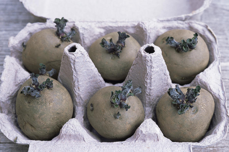 Charlotte Photograph - Chitted Potatoes In An Egg Box by Maxine Adcock