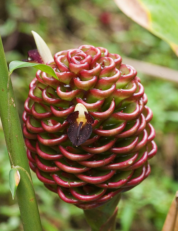 Chocolate Ball Ginger Plant Photograph By Wendy White