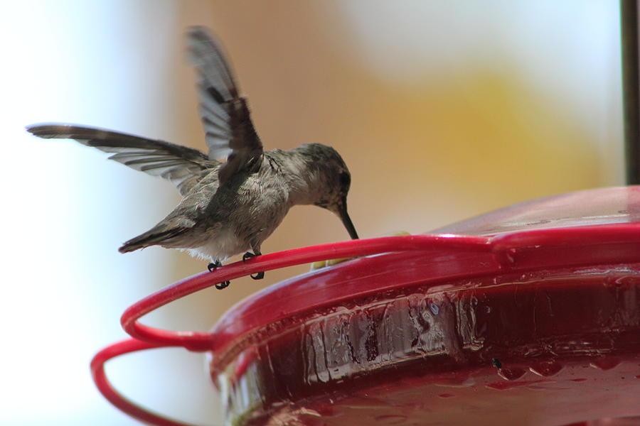 Hummingbirds Photograph - Chow Time by Carolina Liechtenstein