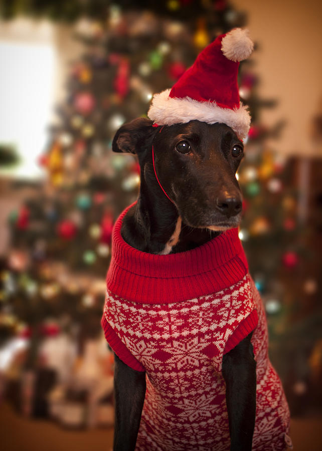 Vertical Photograph - Christmas Dressed Up Dog by Malcolm Smith