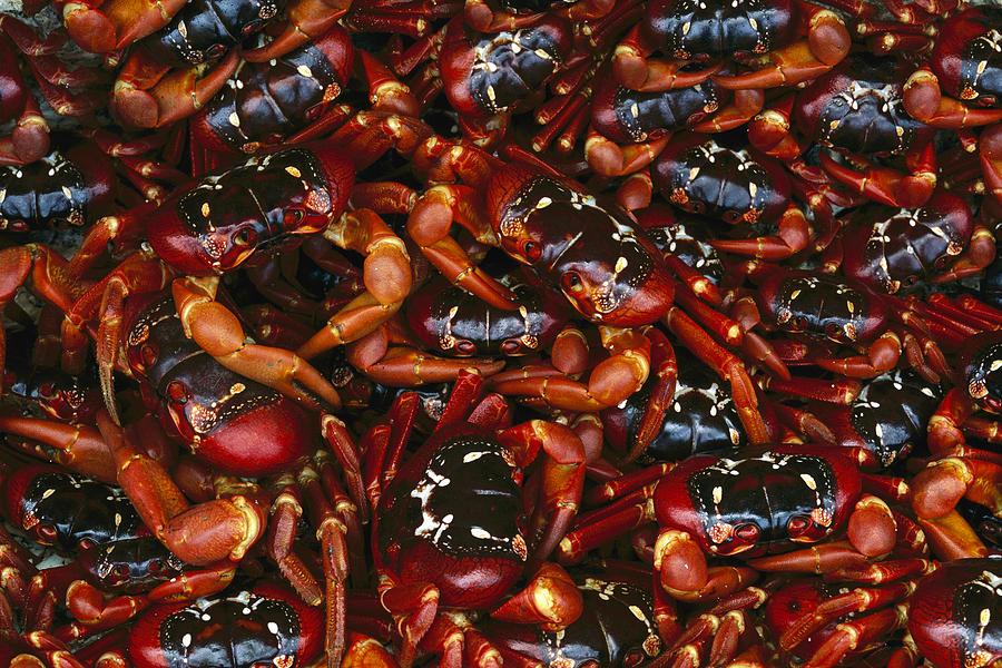 Ai Photograph - Christmas Island Red Crab Gecarcoidea by Jean-Paul Ferrero