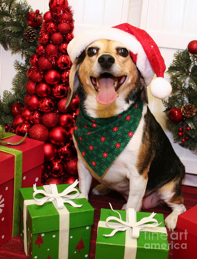 beagle photograph christmas portraits beagle by renae crevalle - Christmas Beagle