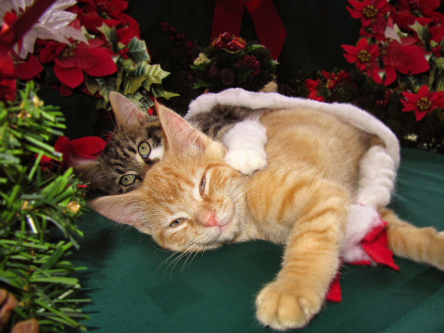 Christmas Time Photograph - Christmas Time W Two Cats Together - Baby Maine Coon Kitty Cuddling With Smug Orange Tabby Kitten by Chantal PhotoPix
