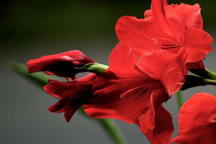 Flower Photograph - Chromatic Gladiola by Deborah  Crew-Johnson
