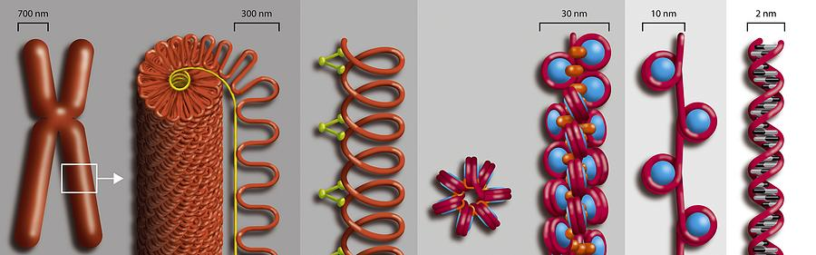 Chromatin Photograph - Chromatin Condensation, Diagram by Art For Science