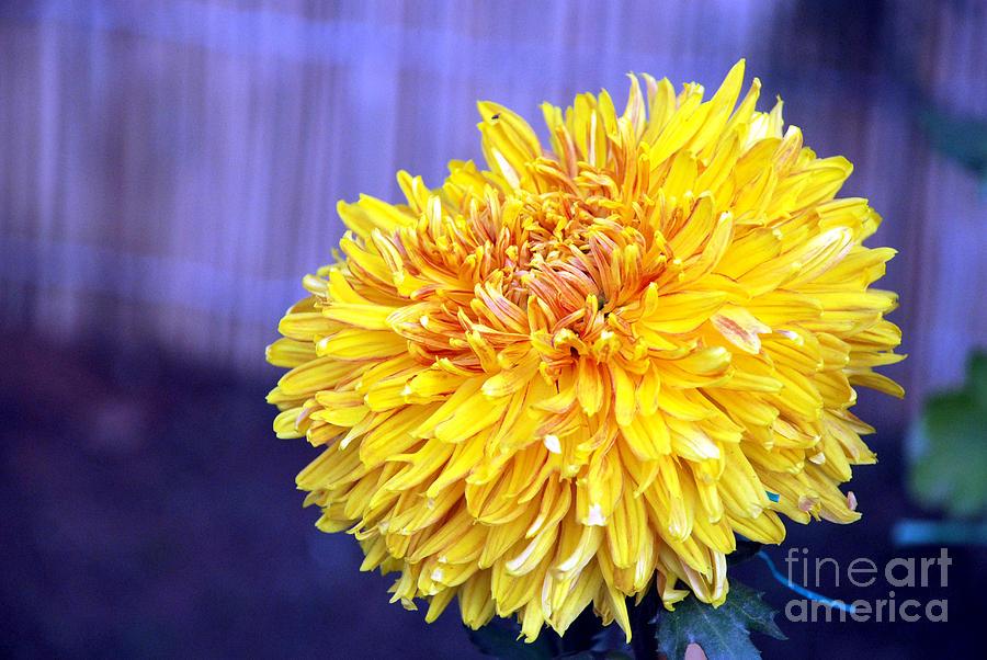 Flower Photograph - Chrysanthemum by Pravine Chester