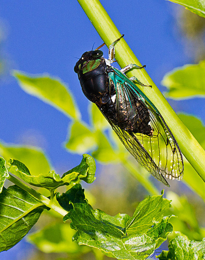 Cicada Photograph - Cicada 002 by Barry Jones