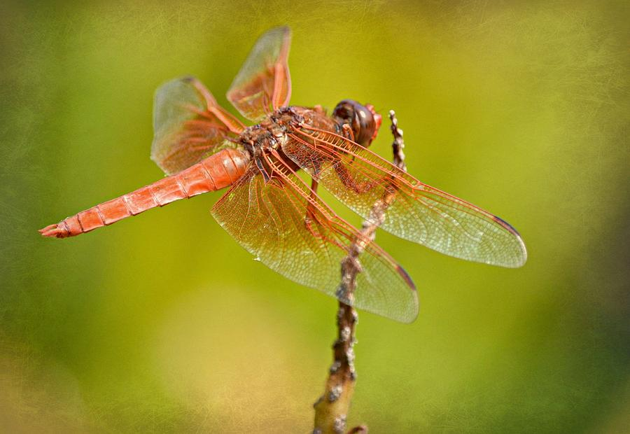 Flame Skimmer Dragonfly Photograph - Cinnamon Delight Two by Fraida Gutovich