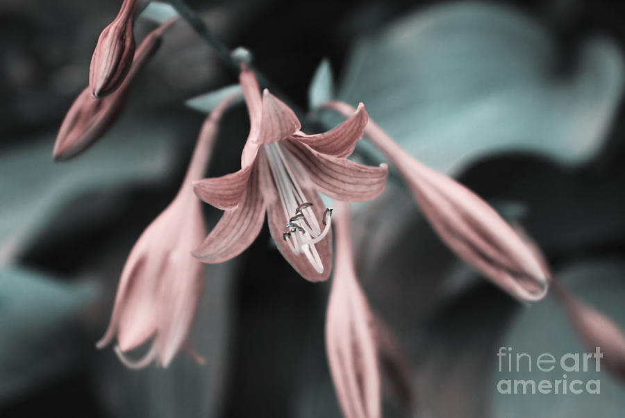 Lily Photograph - Cladis 23 by Variance Collections