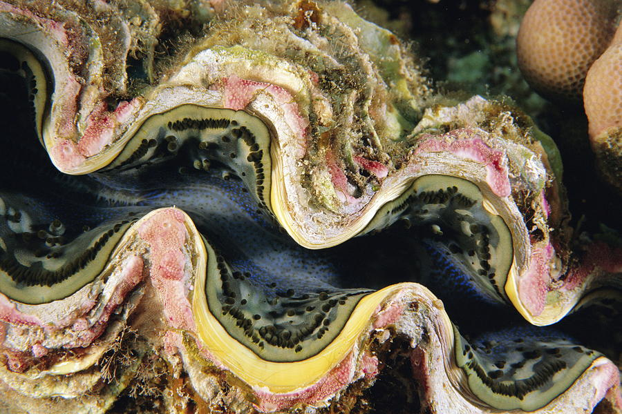 Clam Photograph - Clam by Alexis Rosenfeld