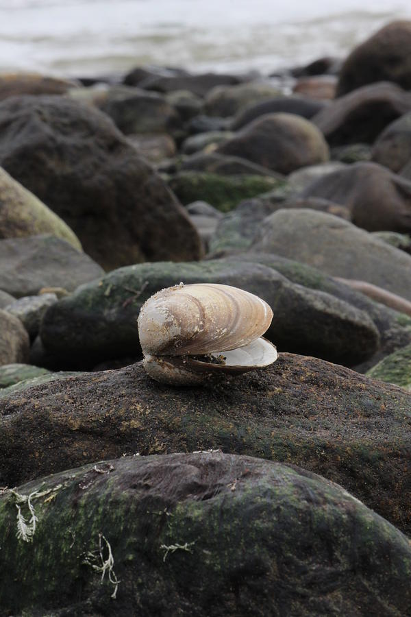 Ocean Photograph - Clam On Rock by Krista Pandiscio
