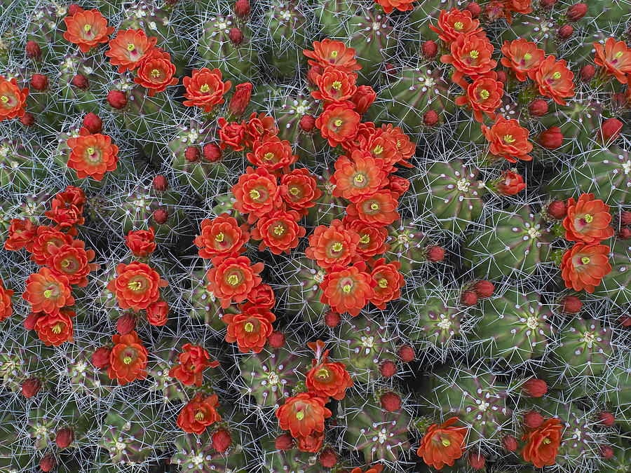Claret Cup Cactus Echinocereus Photograph by Tim Fitzharris