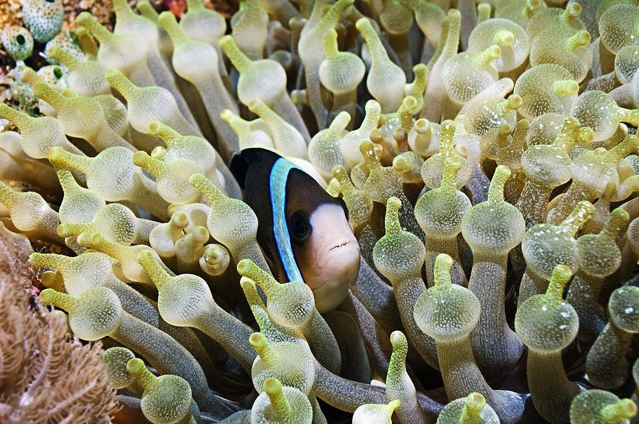 Clarke's Anemonefish Photograph - Clarkes Anemonefish by Georgette Douwma