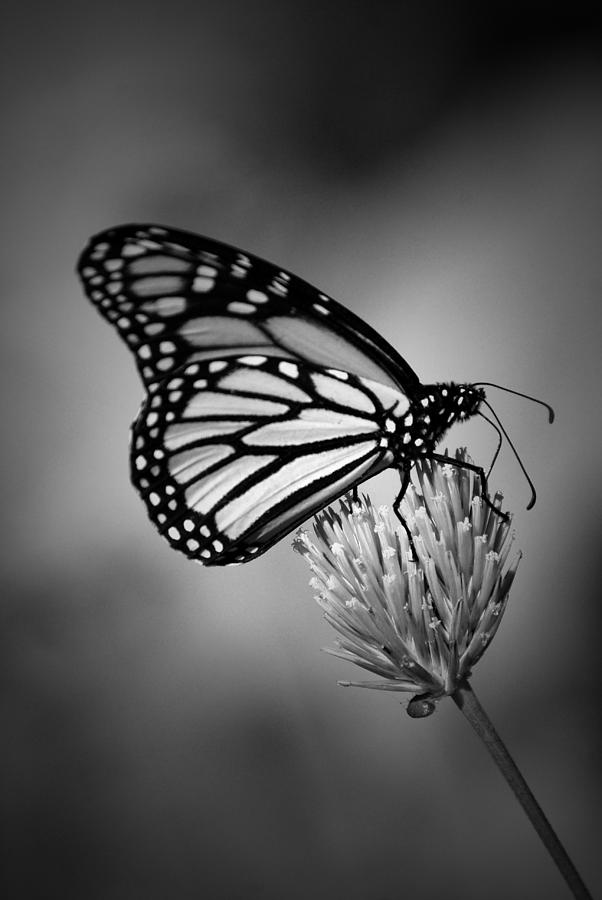 Simplicity Photograph - Classic Beauty by Skip Willits