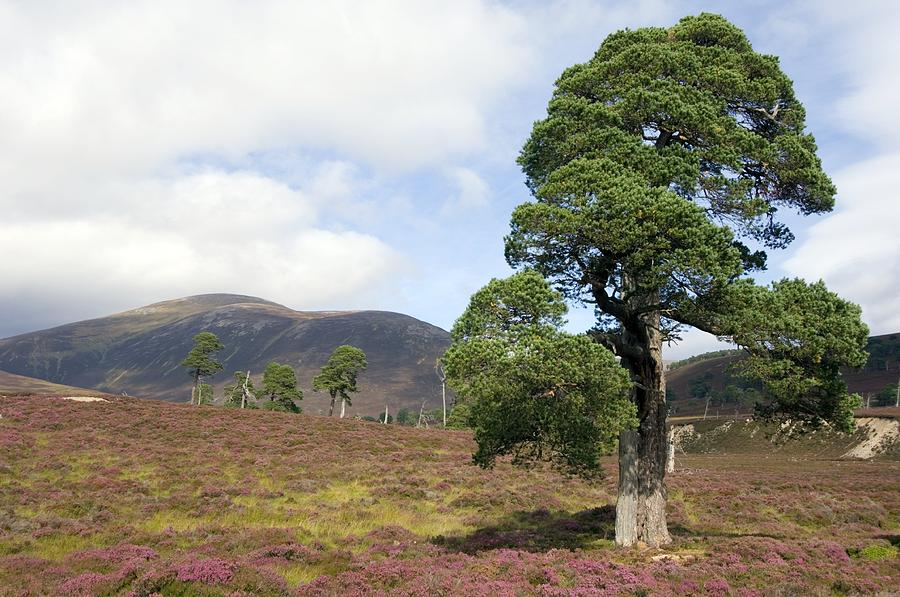 Scots Pine Photograph - Cleared Scots Pine Forest by Duncan Shaw