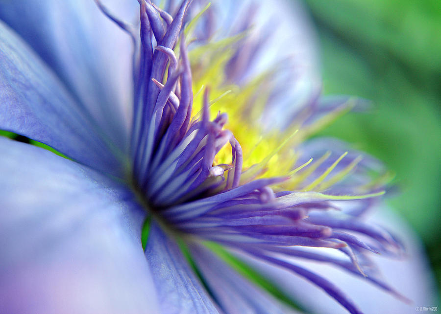 Clematis Photograph - Clematis Macro by William Martin