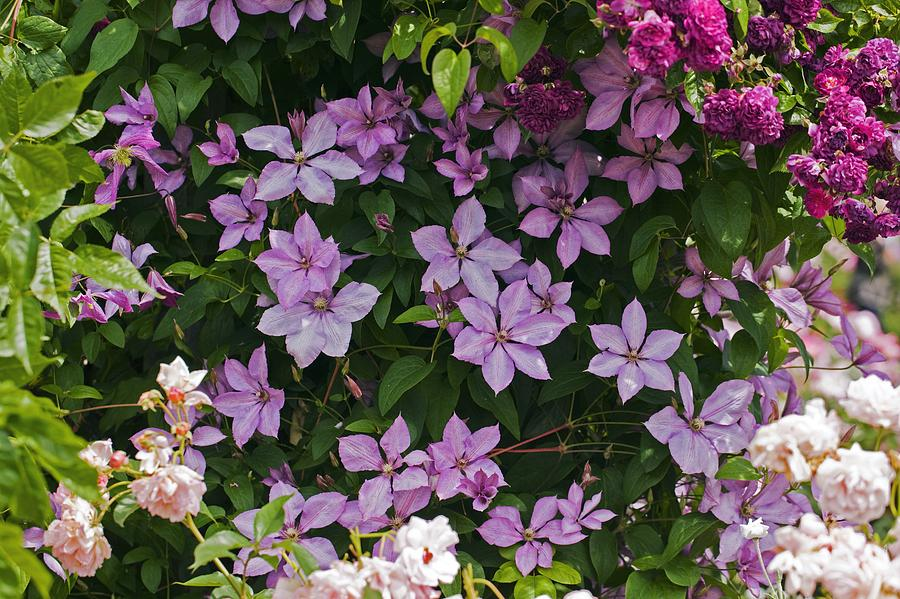 Pink Photograph - Clematis margaret Hunt by Dr Keith Wheeler
