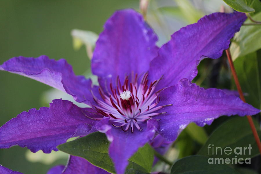 Clematis Photograph - Clematis by Scenesational Photos