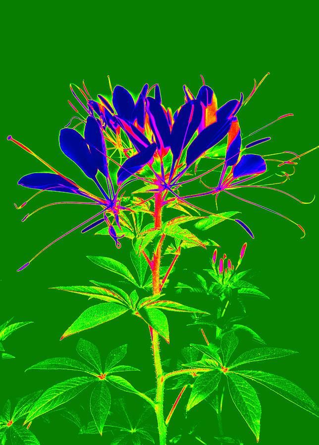 Cleome Flower Photograph - Cleome Gone Abstract by Kim Galluzzo Wozniak