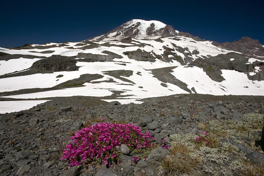 Flower Photograph - Cliff Penstemon (penstemon Serrulatus) by Bob Gibbons