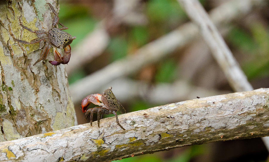 Crabs Photograph - Climbing Crabs by Mike Rivera