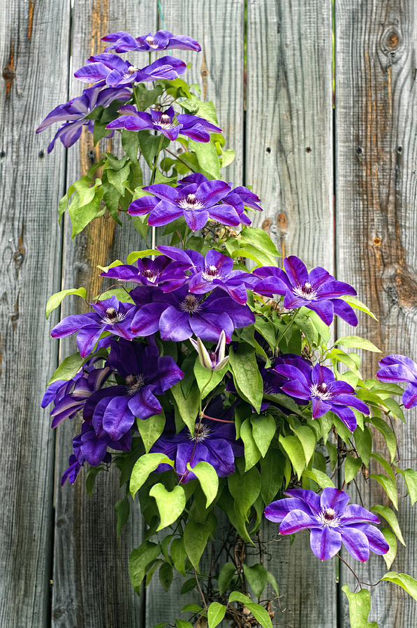 Flowers Photograph - Climbing Purples by Laura George