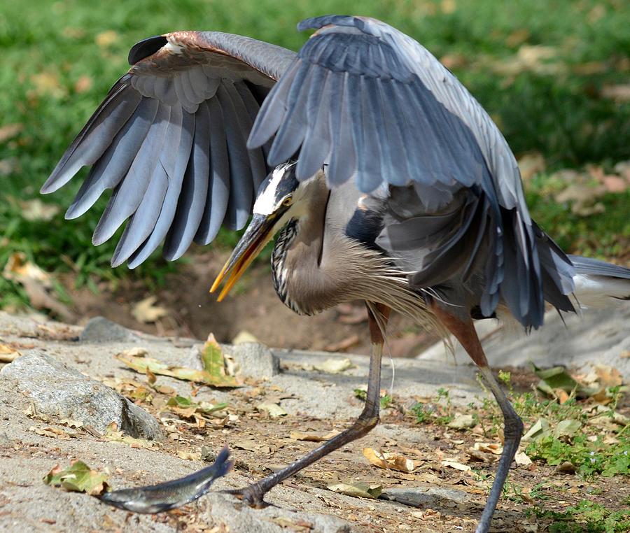 Great Blue Heron Photograph - Cloak And Dagger by Fraida Gutovich