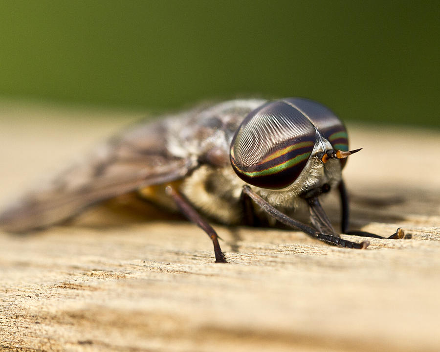 Macro Photograph - Close Encounter With A Horsefly by Dean Bennett